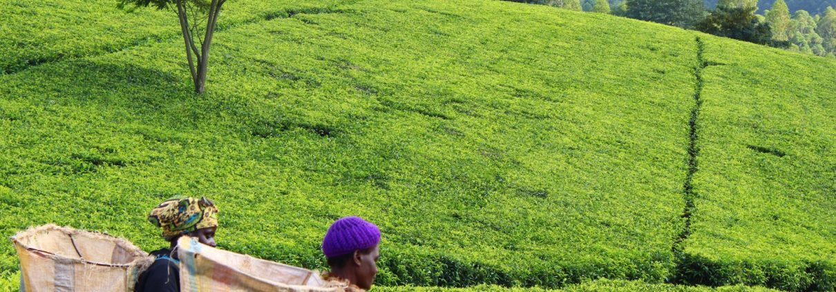Women tea picking at Satemwa Tea Estate, Southern Malawi