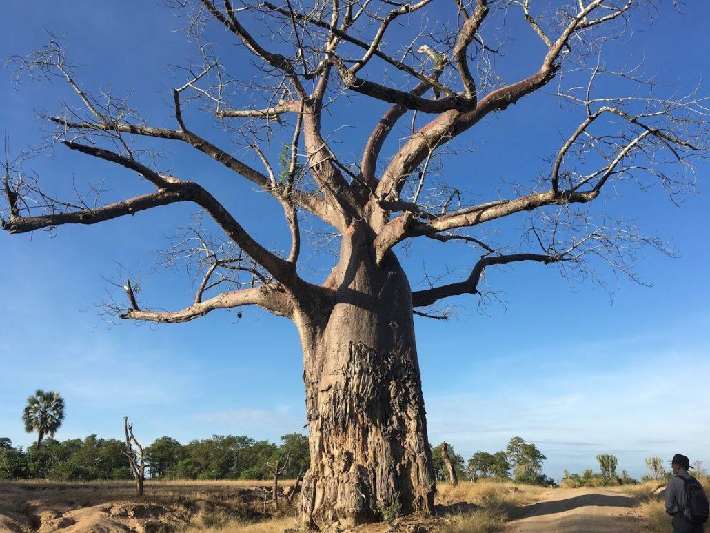 Baobab tree - Liwonde National Park, Malawi