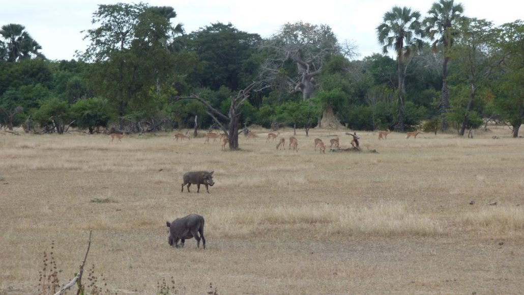 Warthogs and impala in Liwonde National Park, Malawi