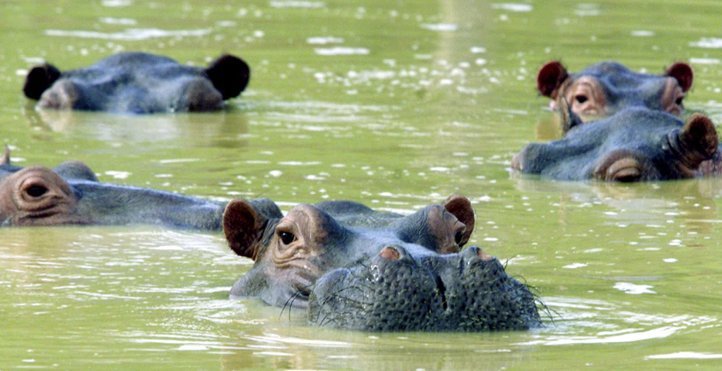 Pablo Escobar's hippos - imported from Africa in 1984