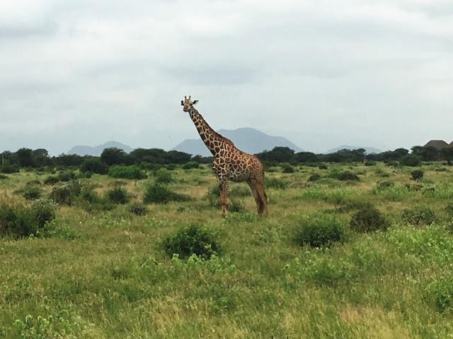 A giraffe in Tsavo East, Kenya