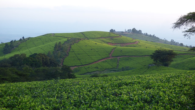 The cross-hatching paths of the Satemwa Tea Estate, Malawi