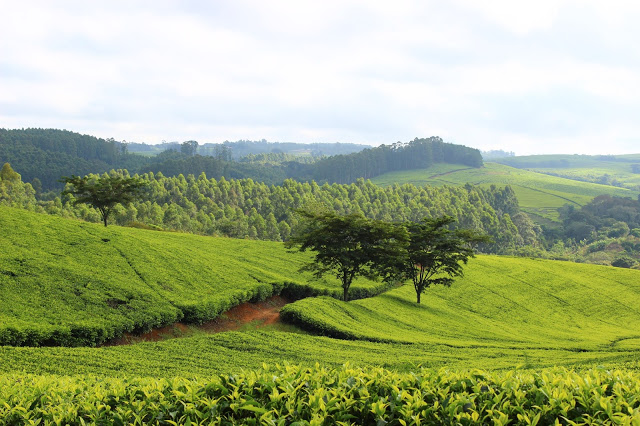 Rows upon rows of tea bushes - Satemwa Tea Estate, Malawi