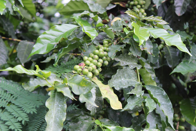 Coffee beans at the Satemwa Tea Estate - Thyolo, Malawi