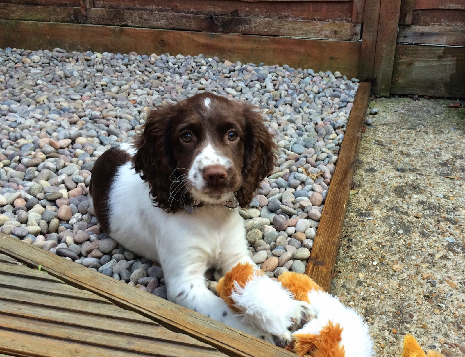 Meet Rufus, the sprocker spaniel :)