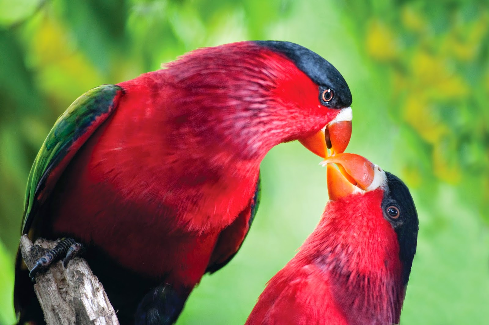 THE PURPLE-BELLIED LORY PARROT - Papua New Guinea