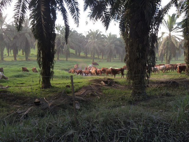 Beef cattle graze in between the rows of plantations - Walindi, Papua New Guinea